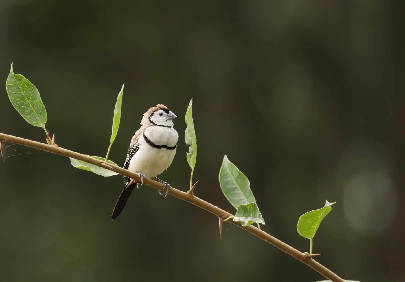 Double-barred Finch (Image ID 29909)