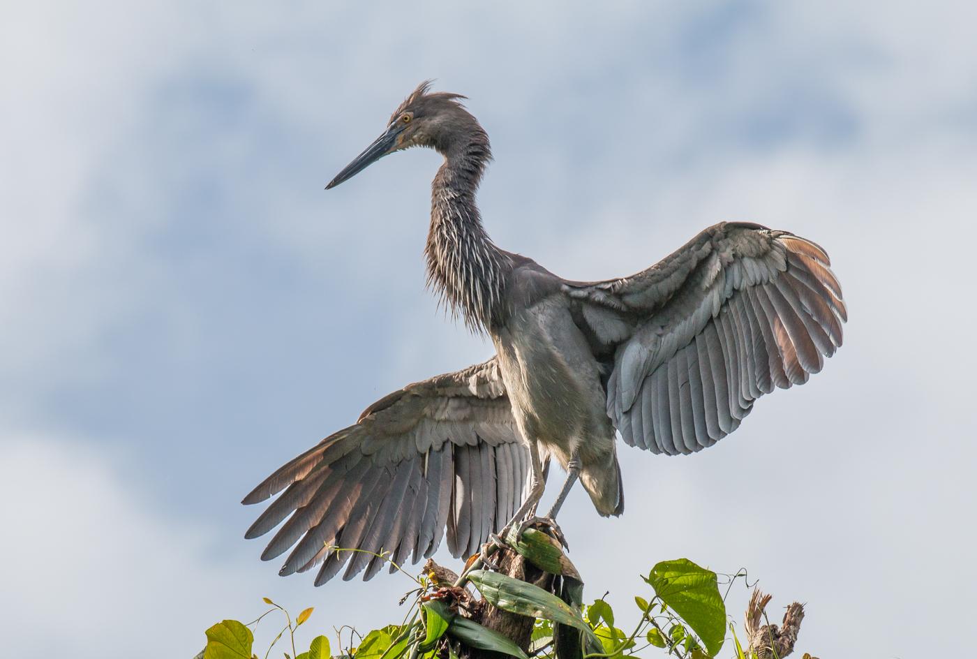 Great-billed Heron (Image ID 29951)