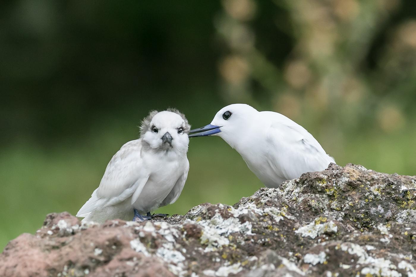White Tern (Image ID 29920)