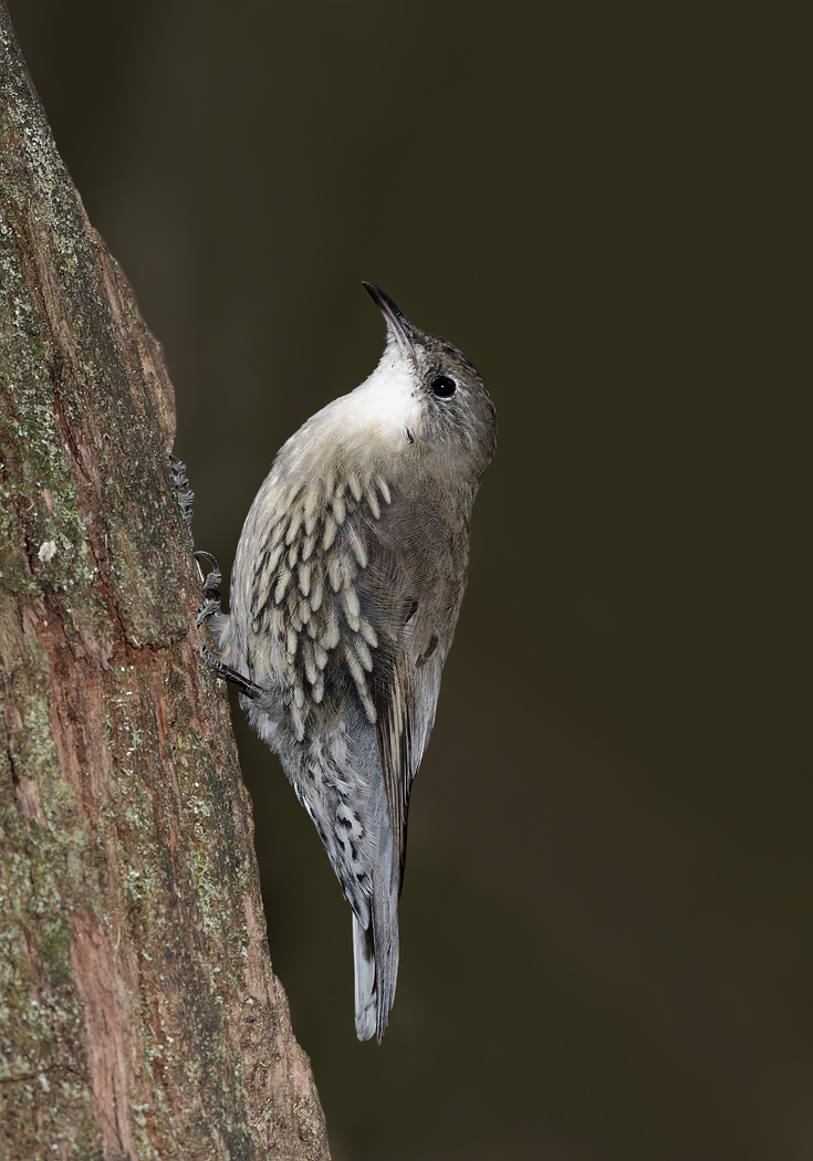 White-throated Treecreeper (Image ID 30041)