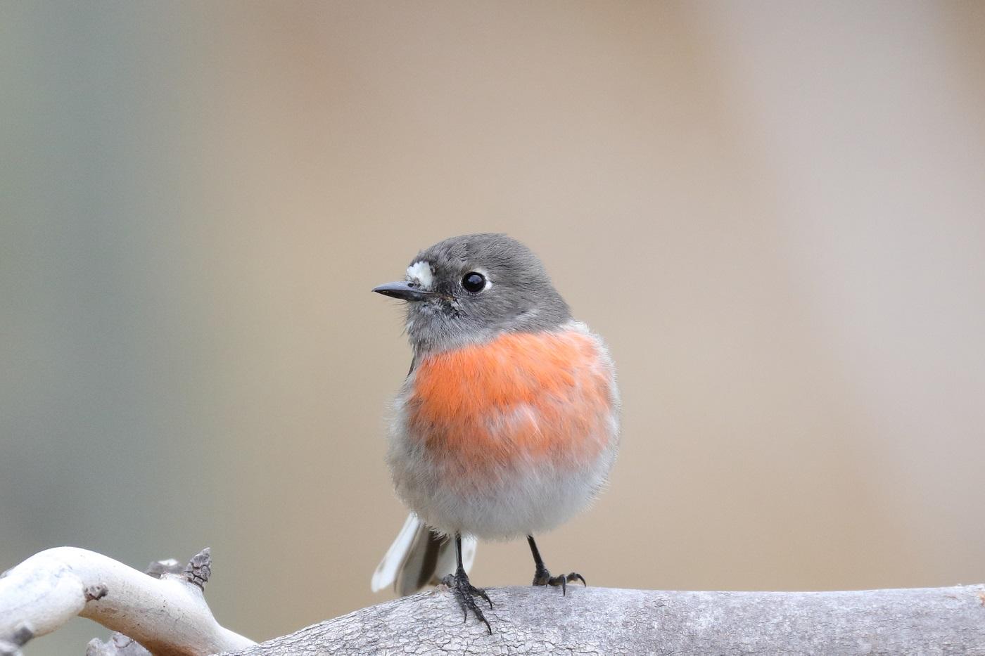Scarlet Robin complex (Image ID 29986)