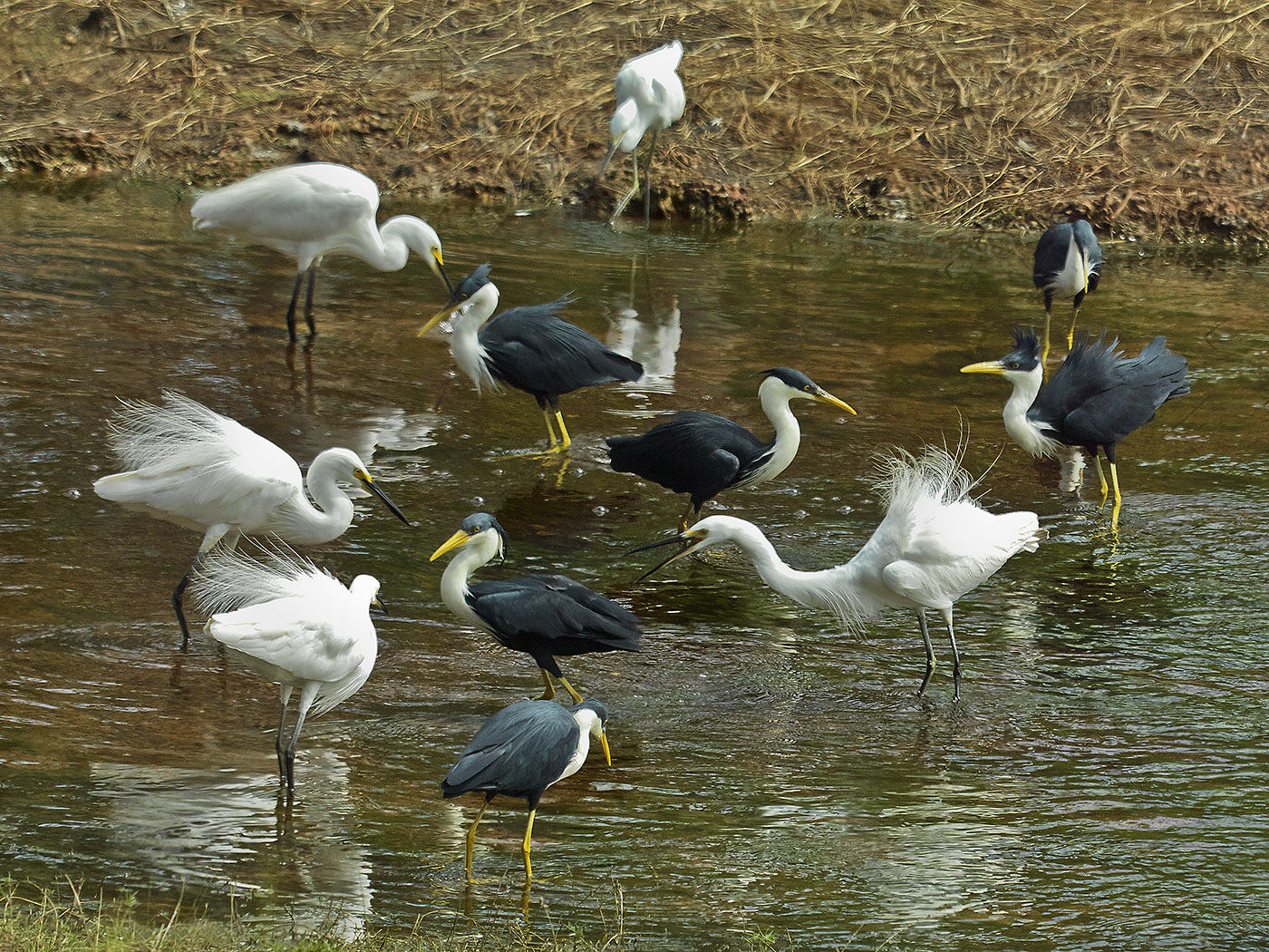 Little Egret, Pied Heron