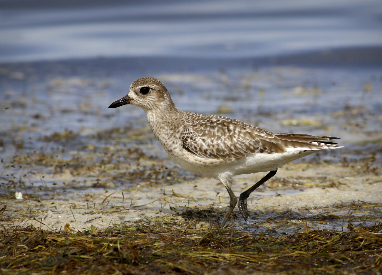 Grey Plover (Image ID 29961)