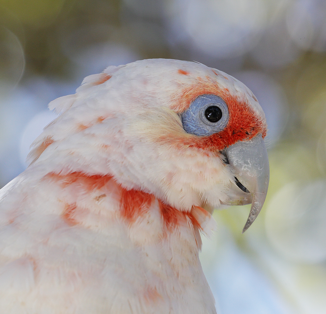 Long-billed Corella (Image ID 30029)