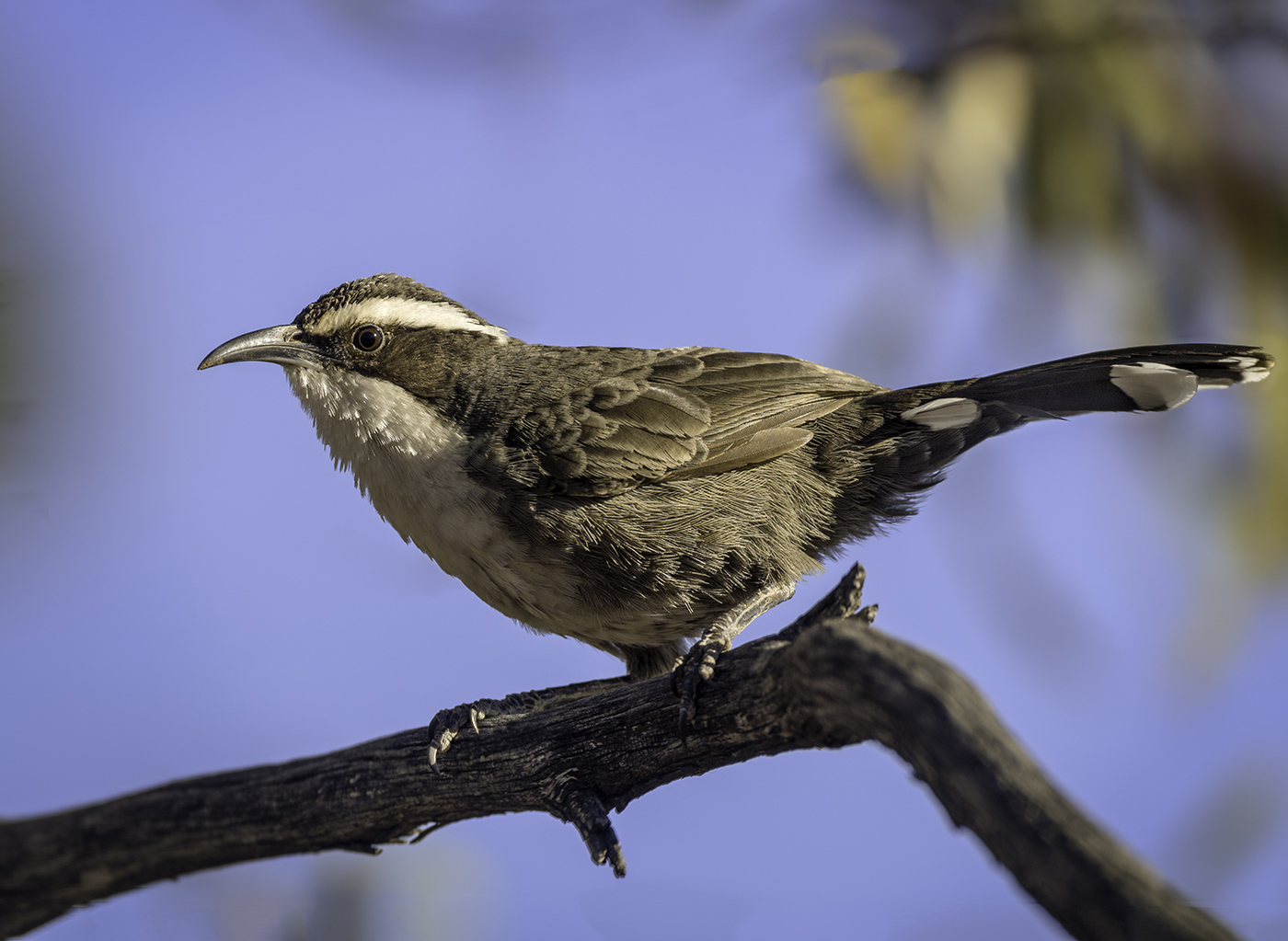White-browed Babbler (Image ID 29887)