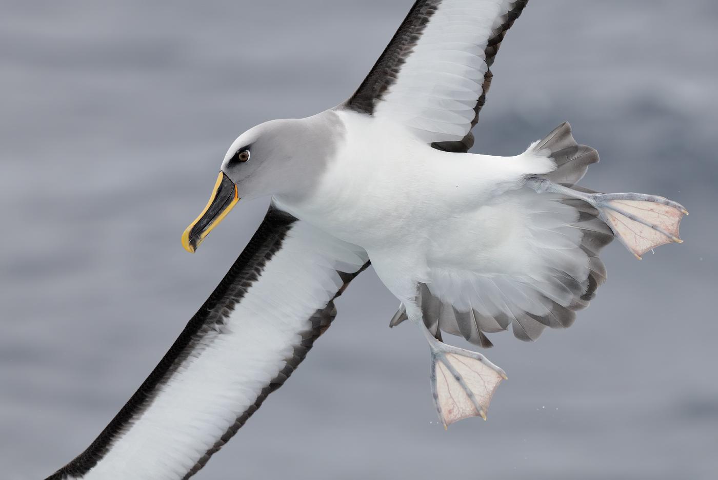 Buller's Albatross (Image ID 29894)