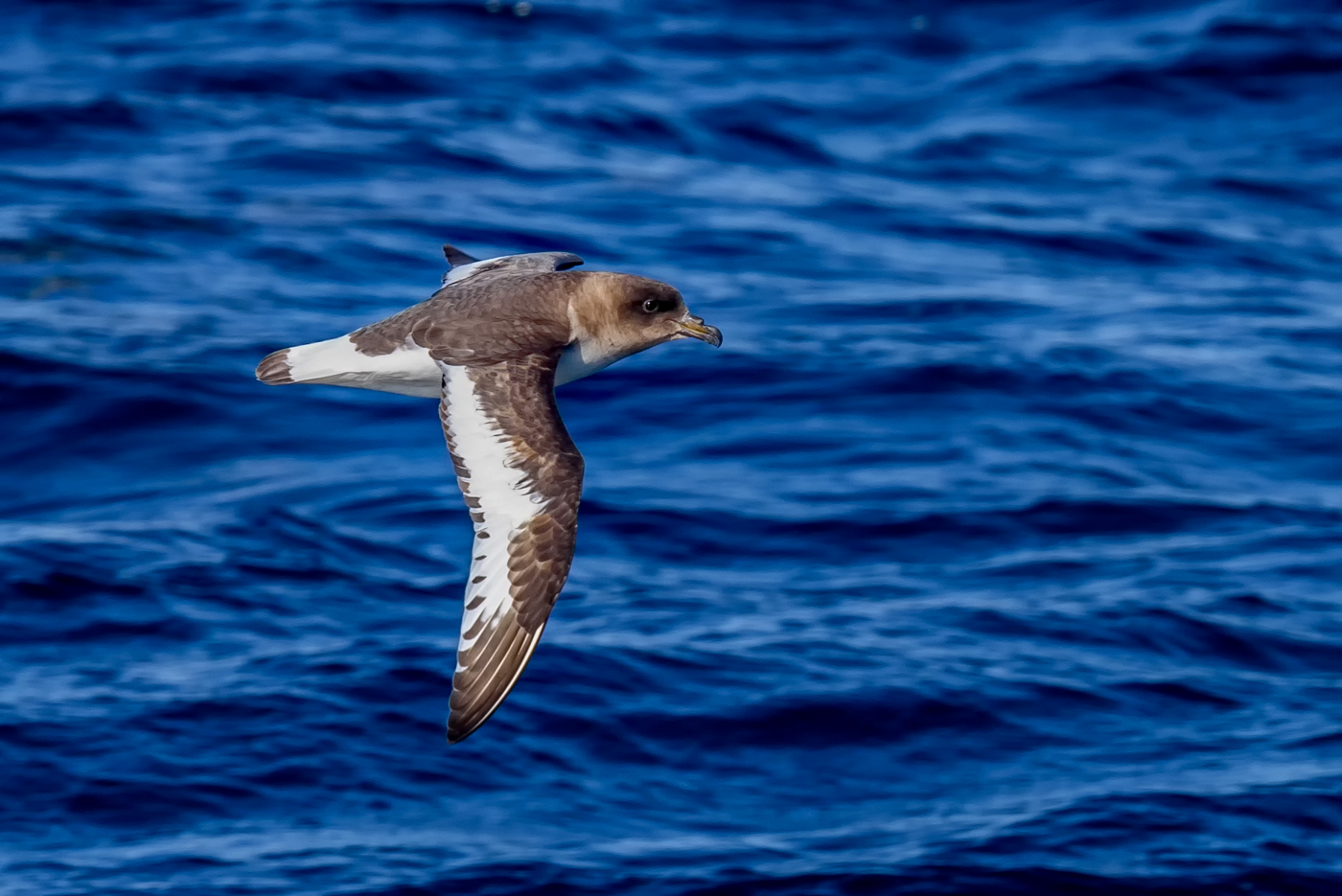 Antarctic Petrel (Image ID 29963)