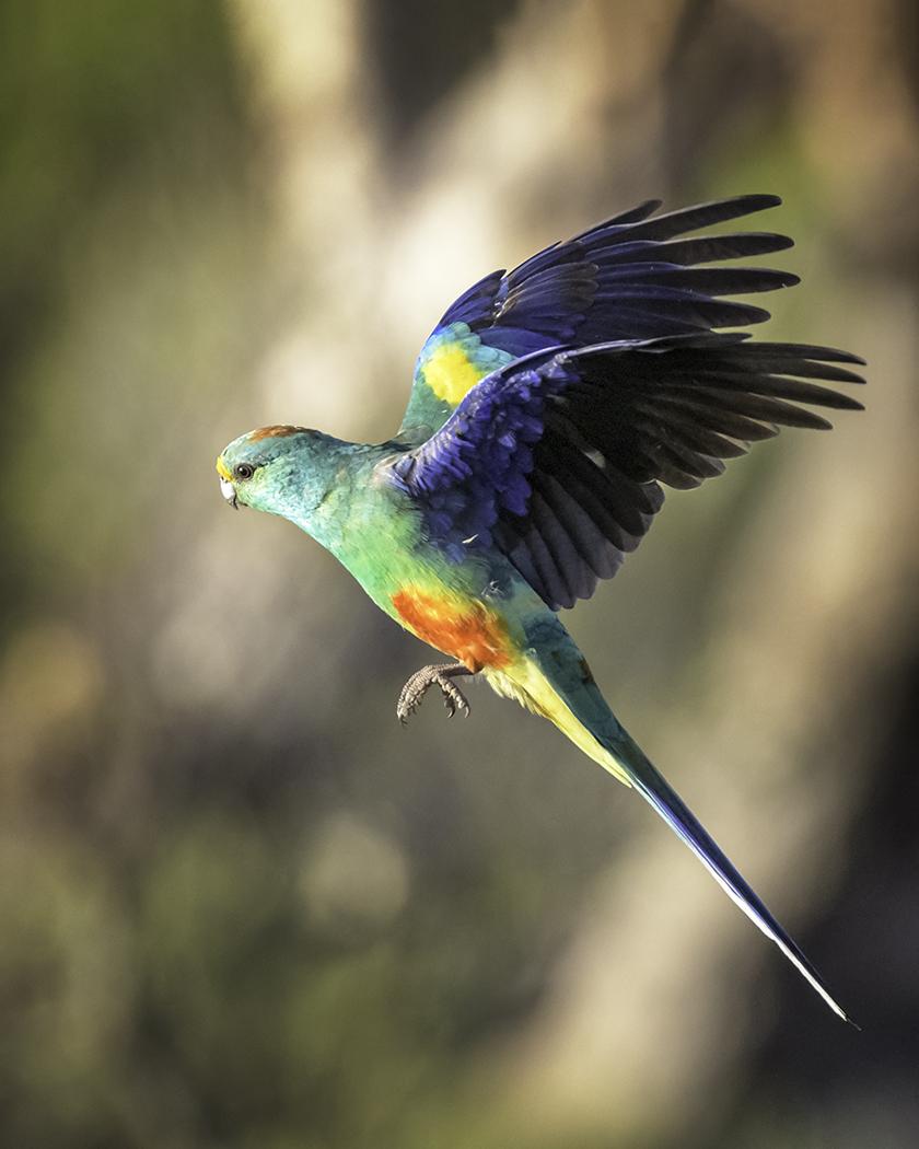 Mulga Parrot (Image ID 29829)