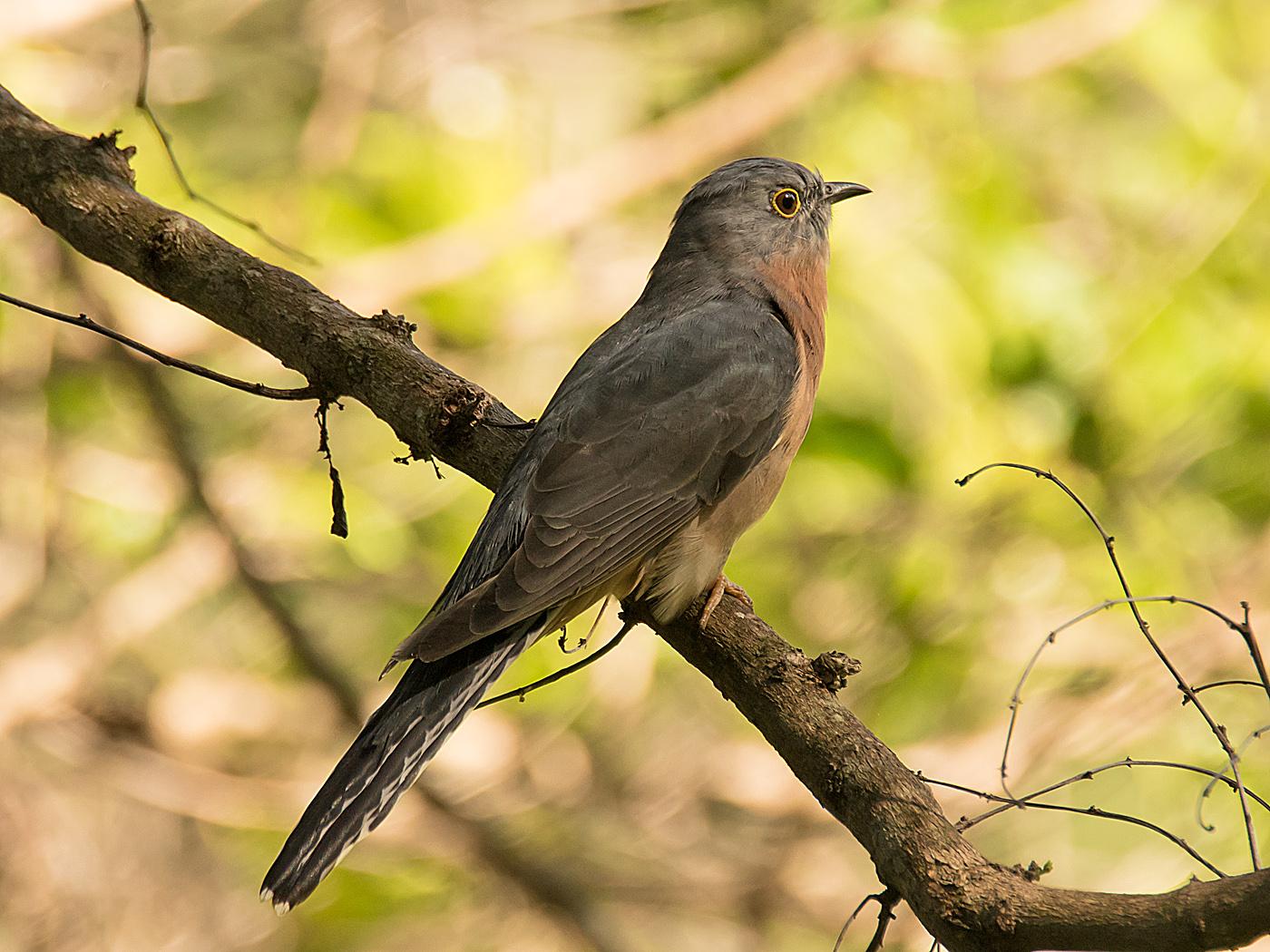 Fan-tailed Cuckoo (Image ID 29897)