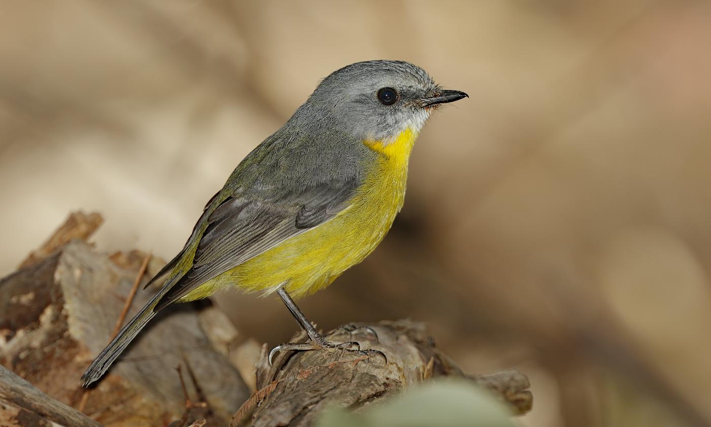 Eastern Yellow Robin (Image ID 30000)