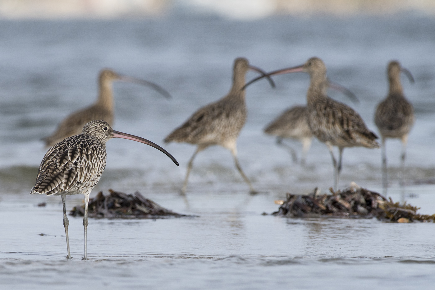 Eastern Curlew (Image ID 29942)