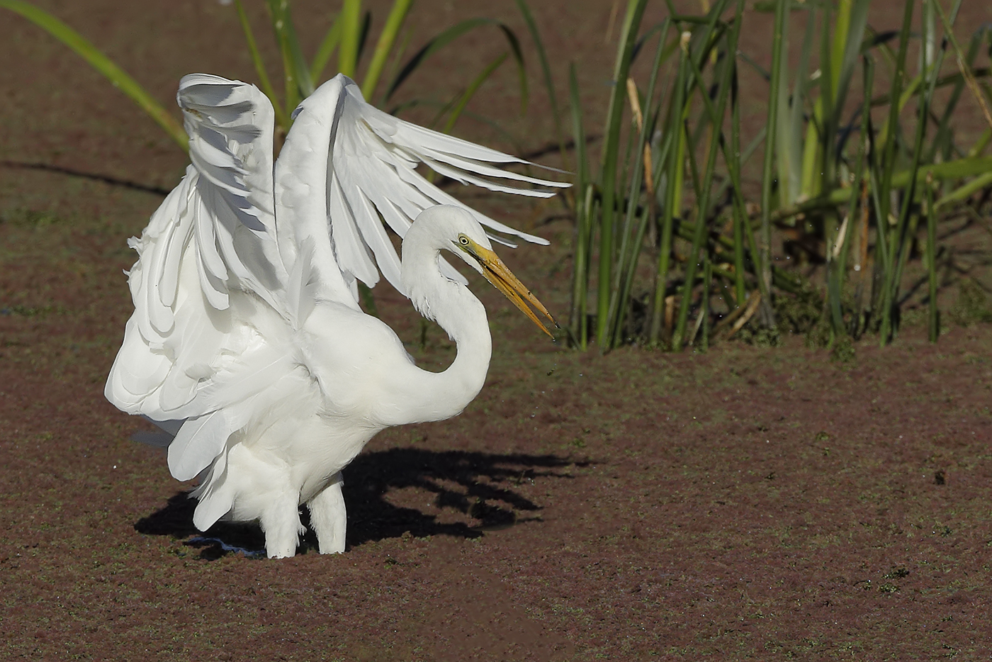 Great Egret (Image ID 29875)