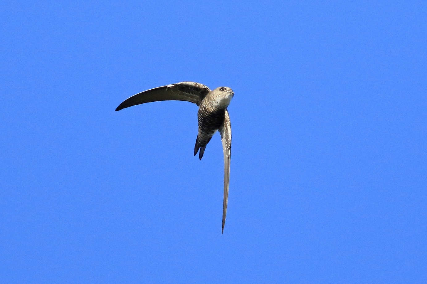 Fork-tailed Swift (Image ID 29981)