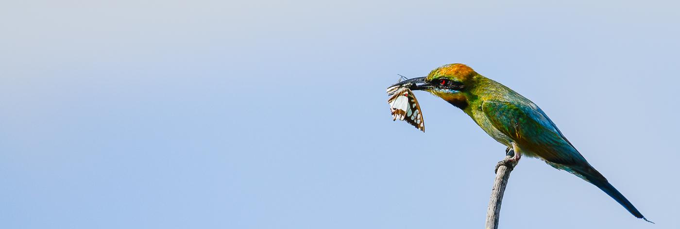 Rainbow Bee-eater (Image ID 30013)