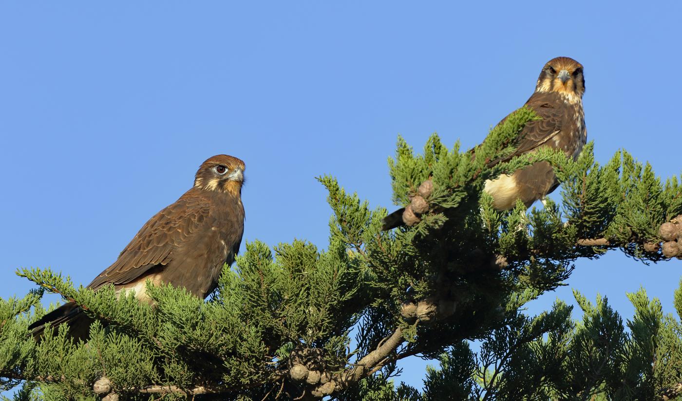 Brown Falcon (Image ID 30044)