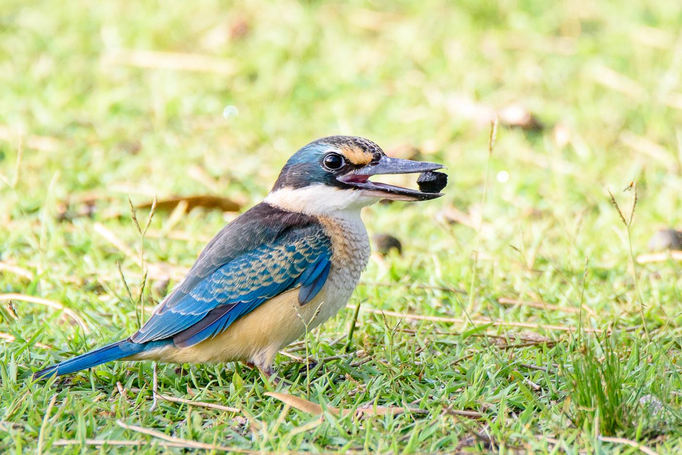Sacred Kingfisher (Image ID 30024)