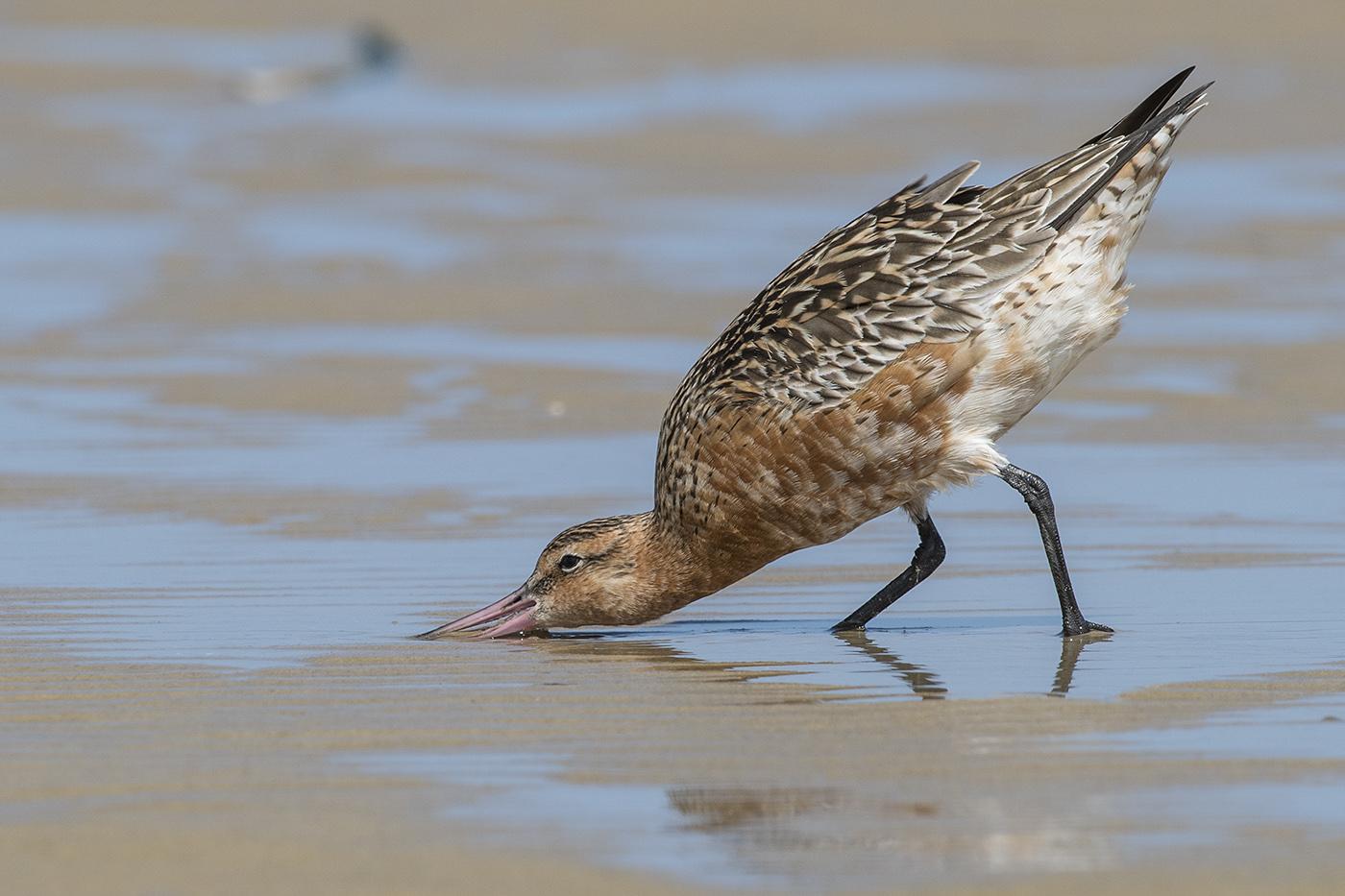 Bar-tailed Godwit (Image ID 29941)
