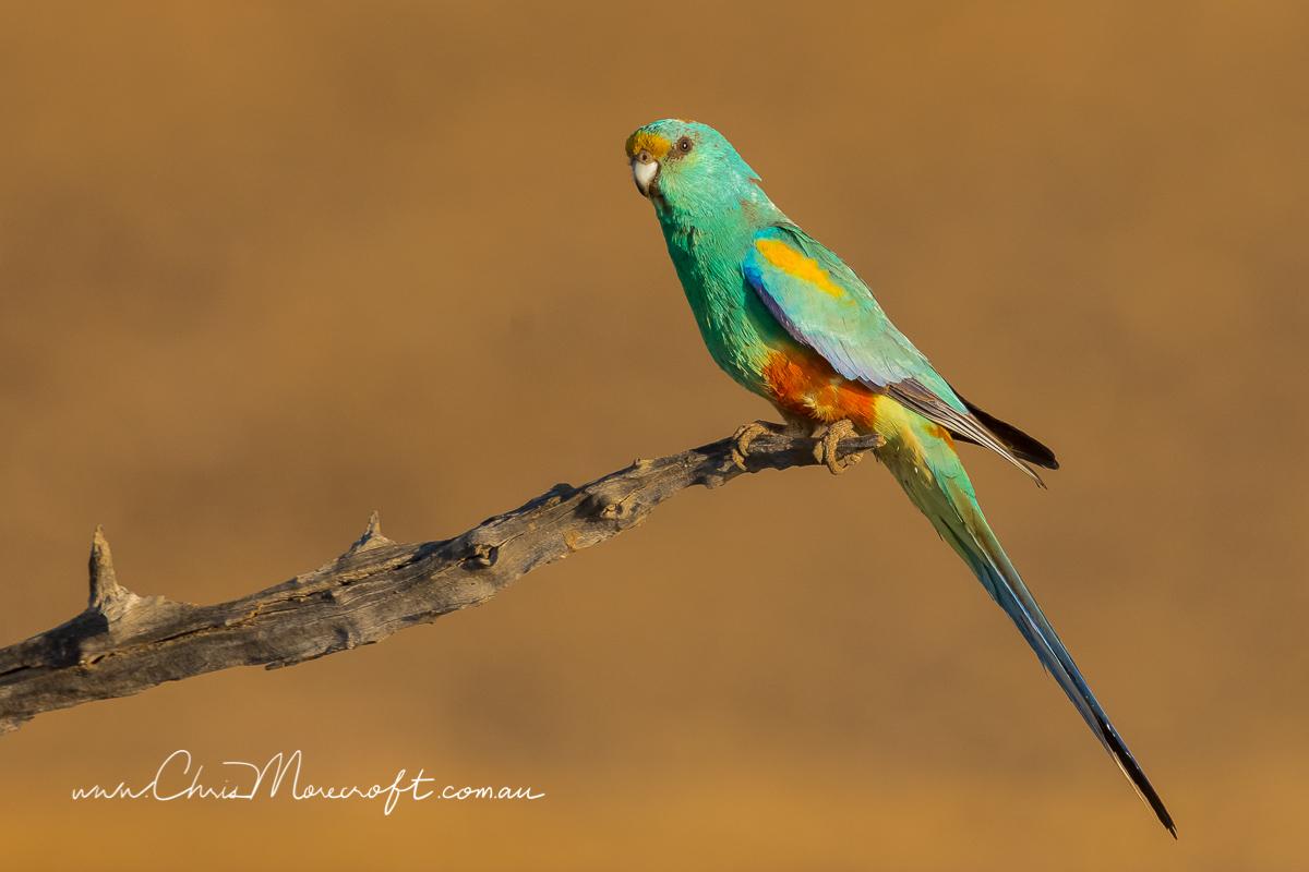 Mulga Parrot (Image ID 29994)