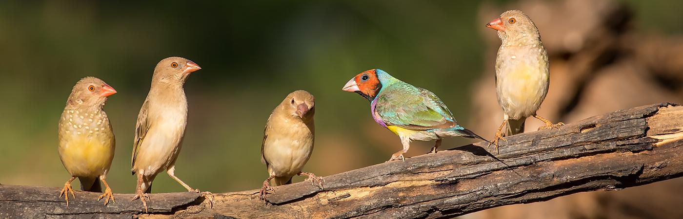 Gouldian Finch, Star Finch