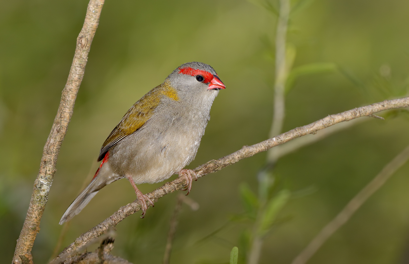 Red-browed Finch (Image ID 29999)