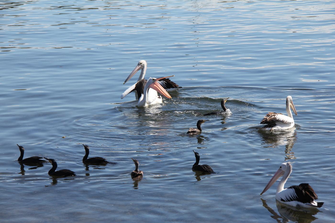 Australian Pelican, Little Black Cormorant (Image ID 29972)