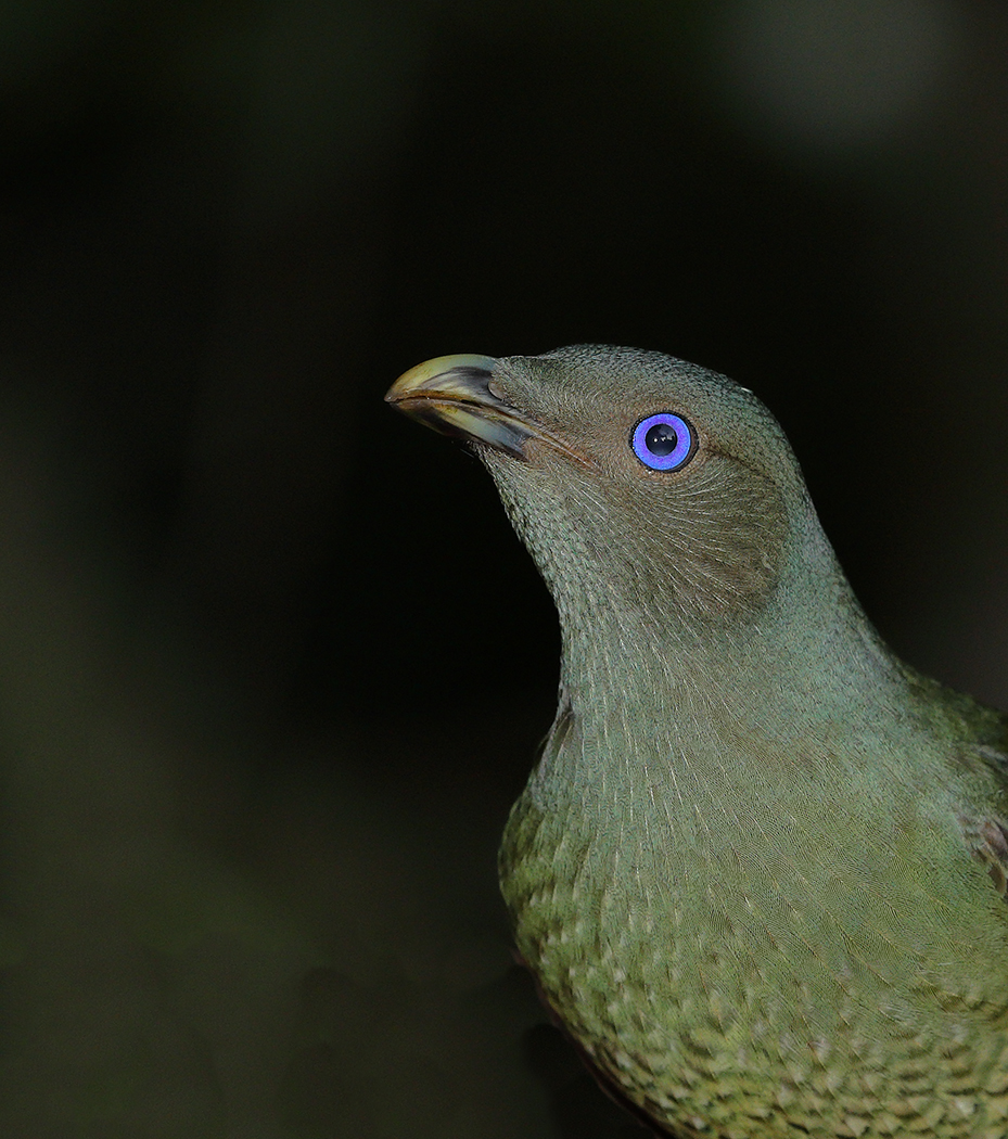 Satin Bowerbird (Image ID 30028)