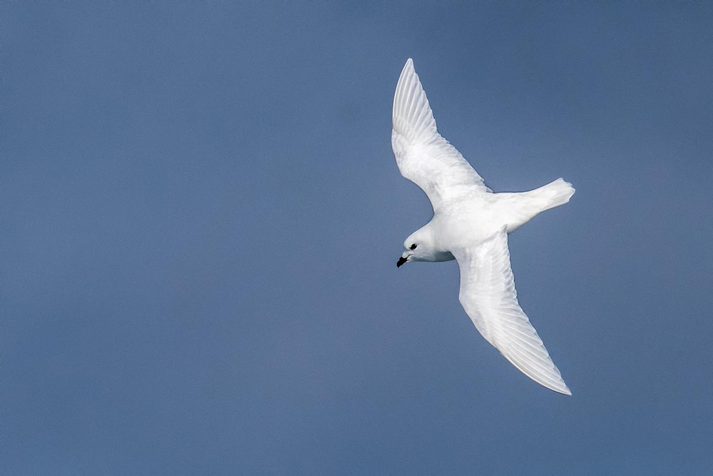 Snow Petrel (Image ID 29965)