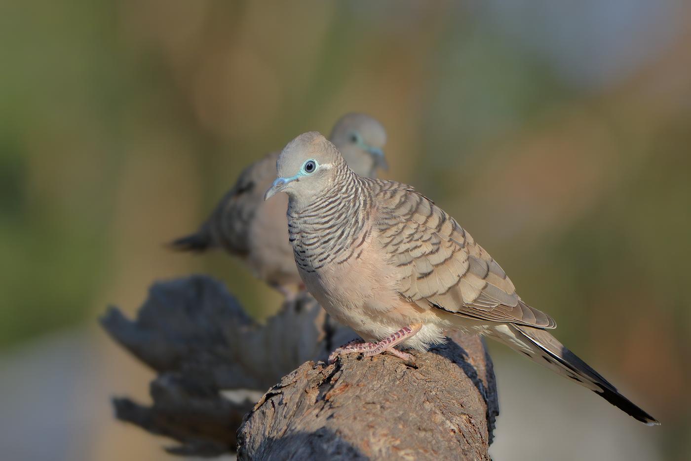 Peaceful Dove (Image ID 30189)
