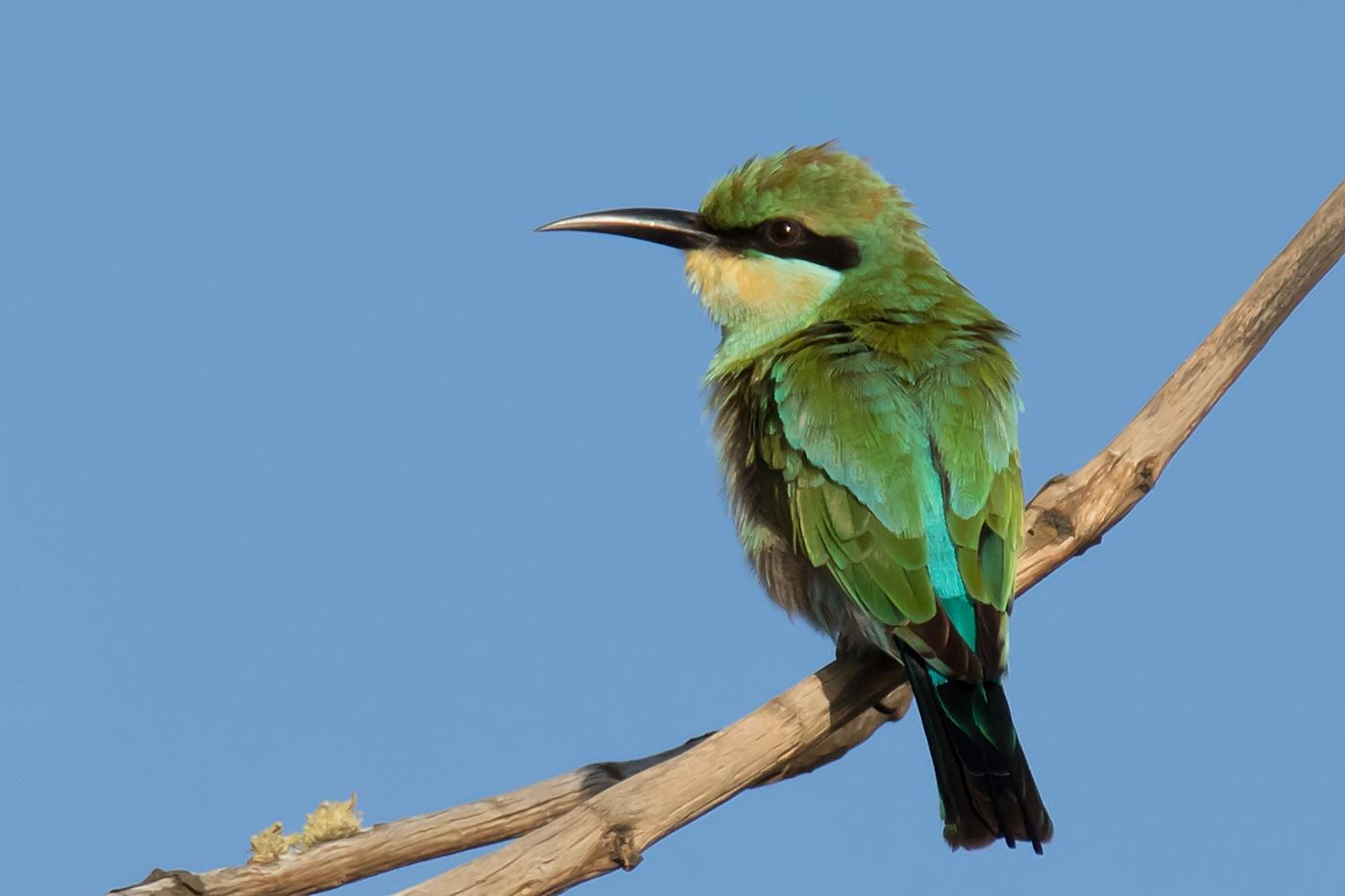 Rainbow Bee-eater (Image ID 30054)