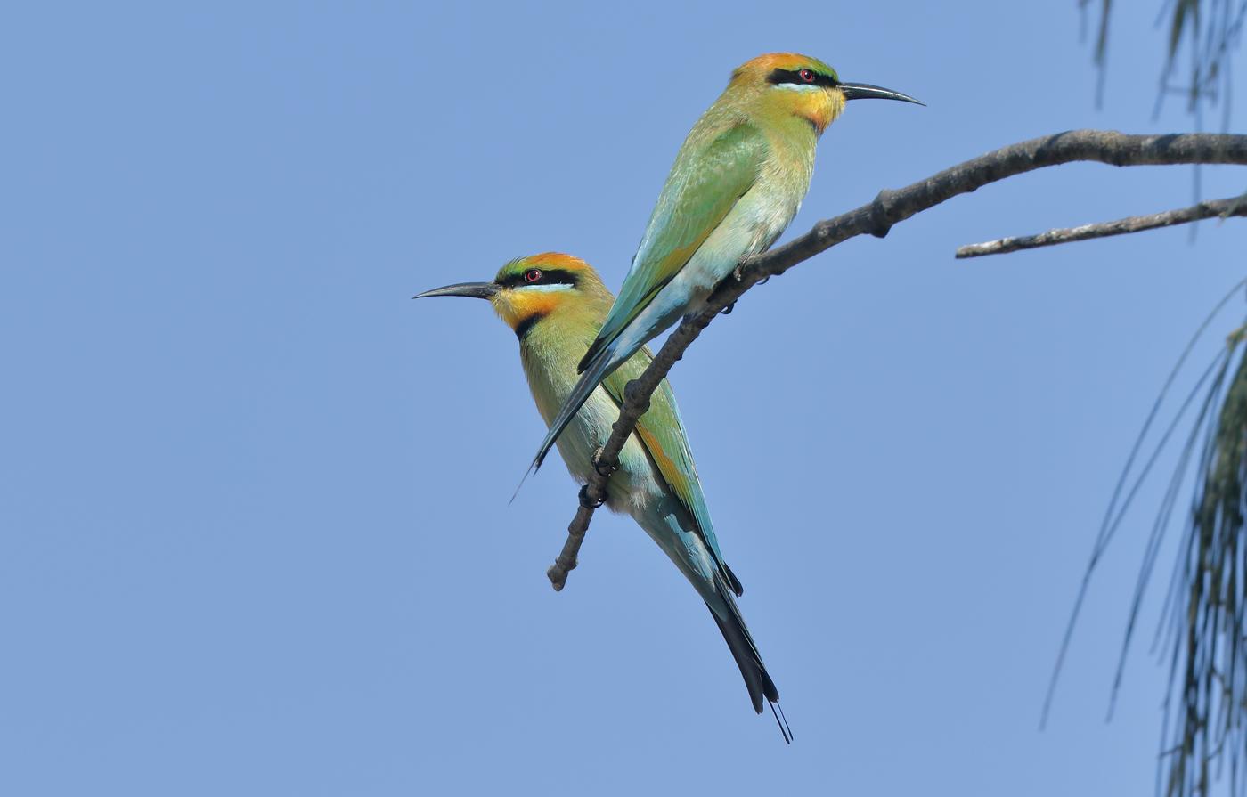 Rainbow Bee-eater (Image ID 30246)