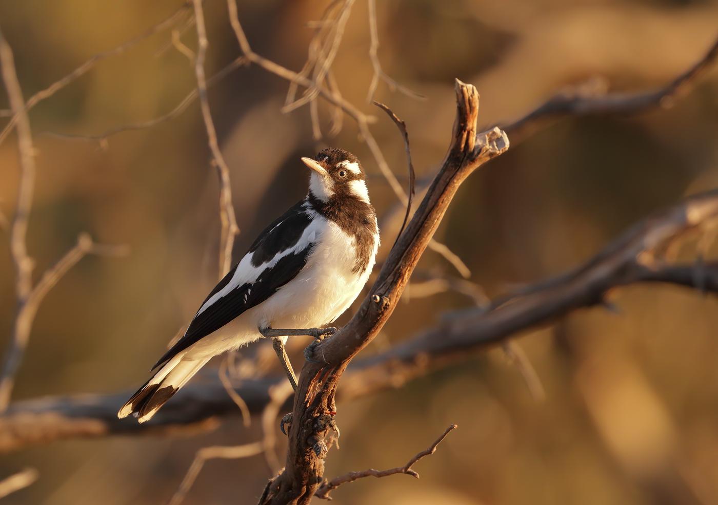 Magpie-lark (Image ID 30156)