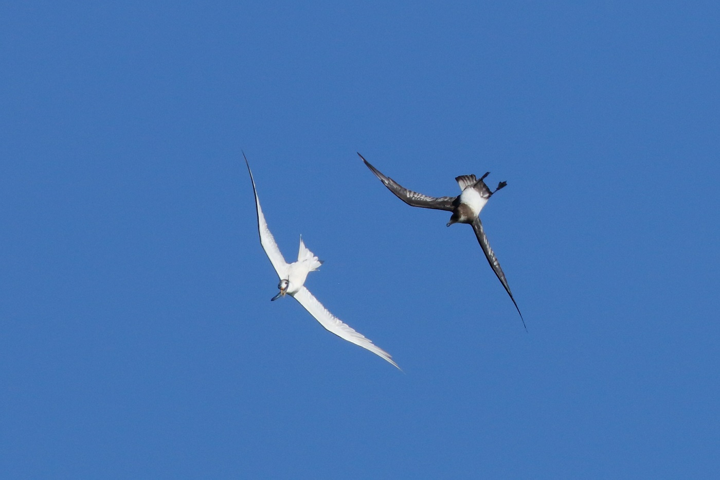 Arctic Jaeger, Crested Tern