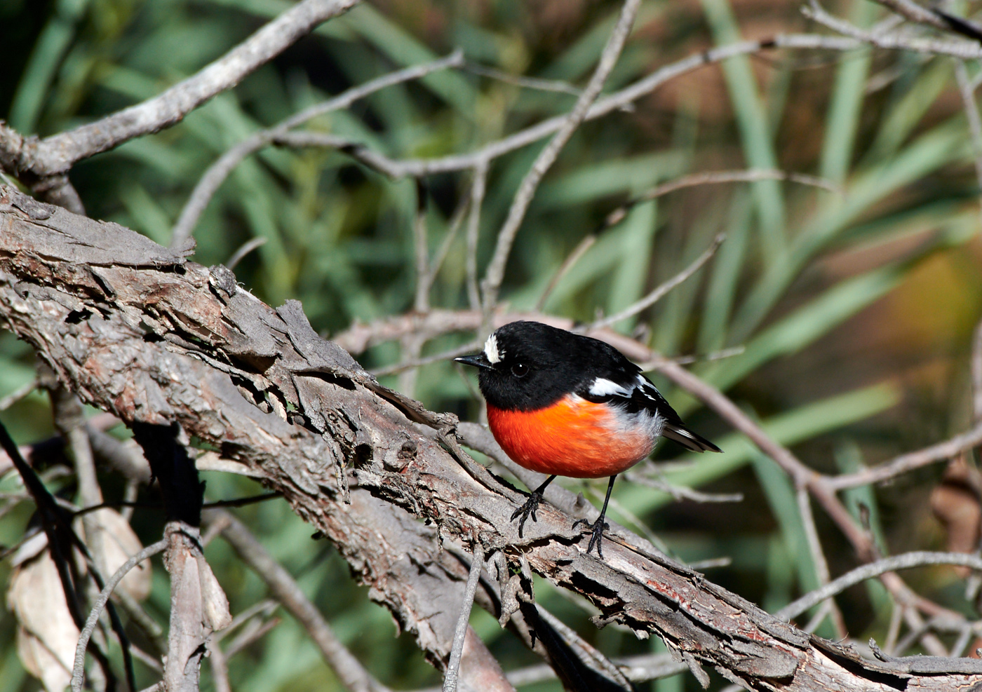 Scarlet Robin (Image ID 30259)