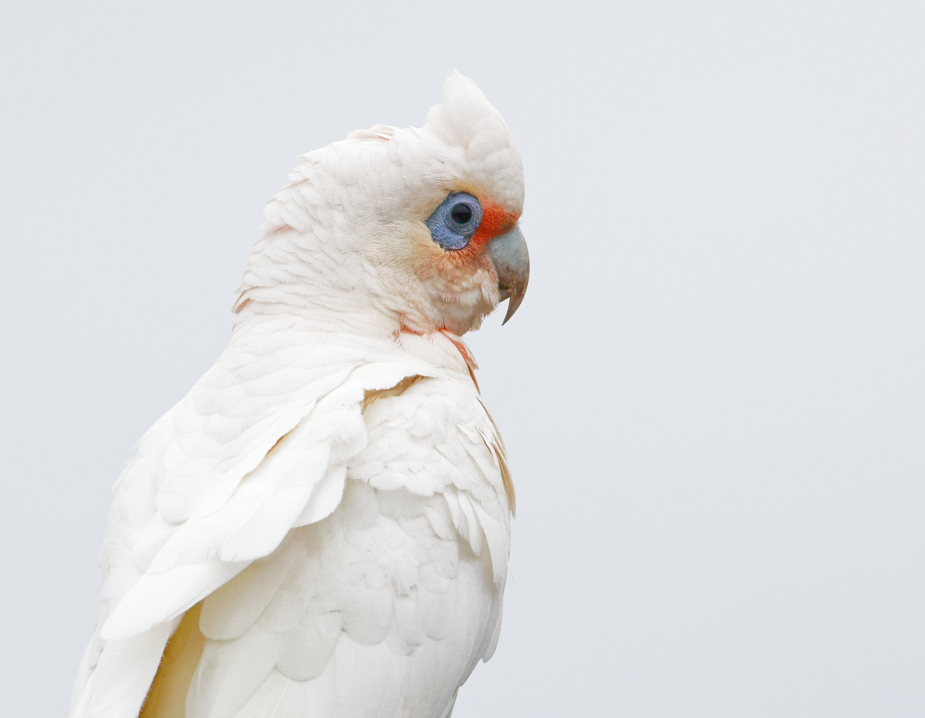 Long-billed Corella (Image ID 30222)