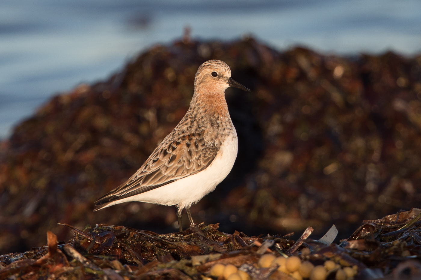 Red-necked Stint (Image ID 30444)