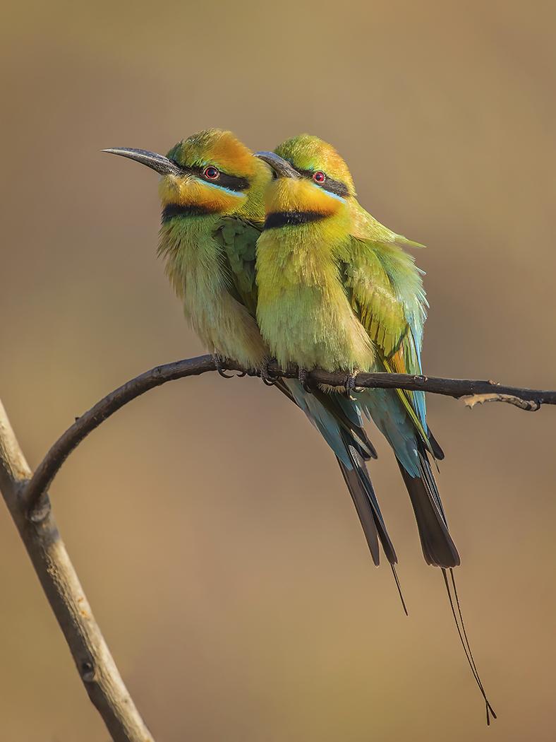 Rainbow Bee-eater (Image ID 30261)