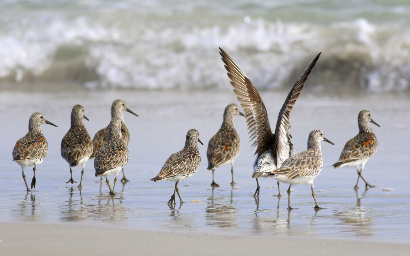 Great Knot (Image ID 30203)