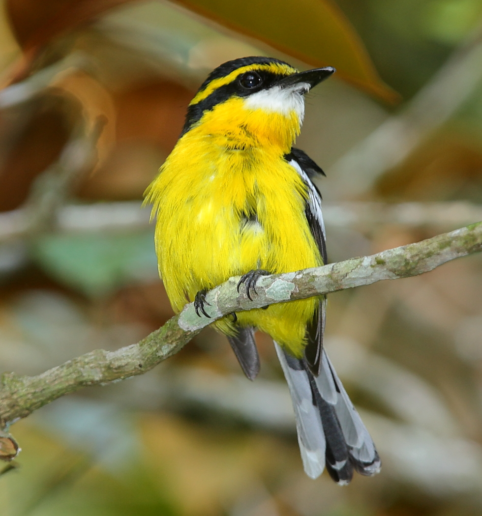 Yellow-breasted Boatbill (Image ID 30199)