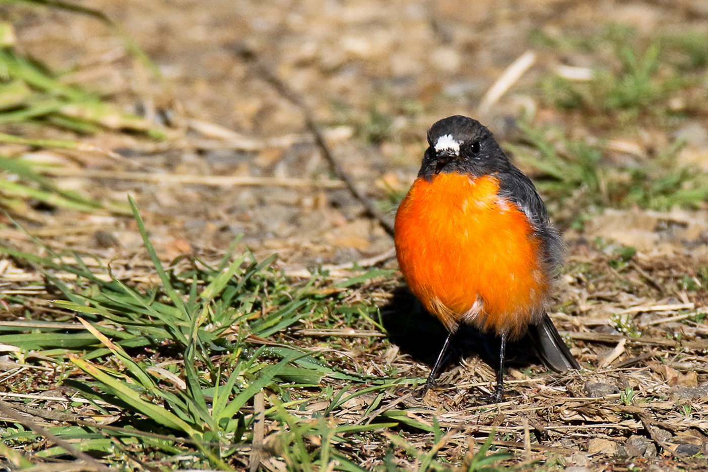 Flame Robin (Image ID 30131)