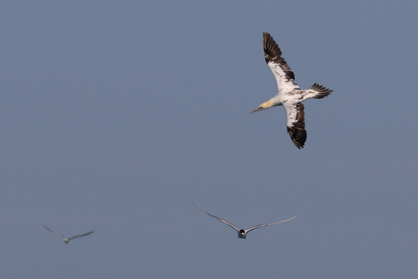 Australasian Gannet,Greater Crested Tern (Image ID 30103)
