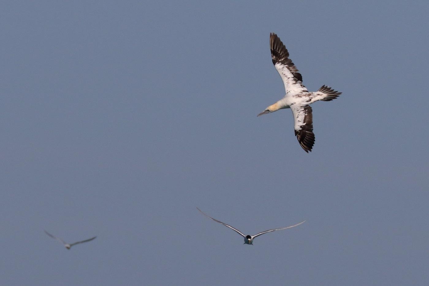Australasian Gannet, Crested Tern