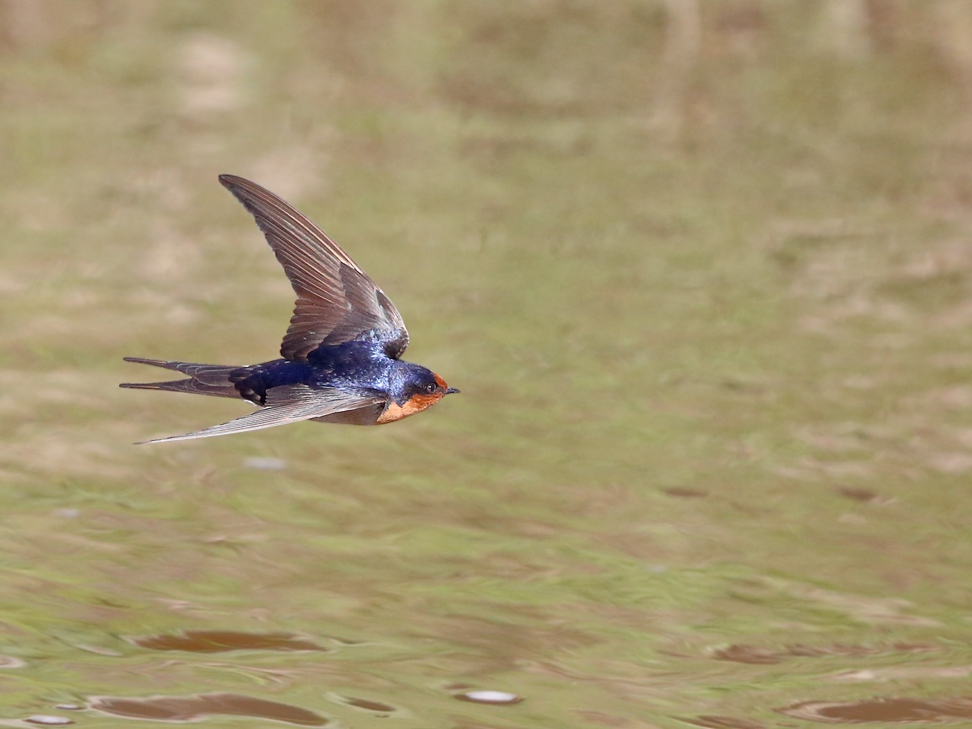 Welcome Swallow (Image ID 30053)