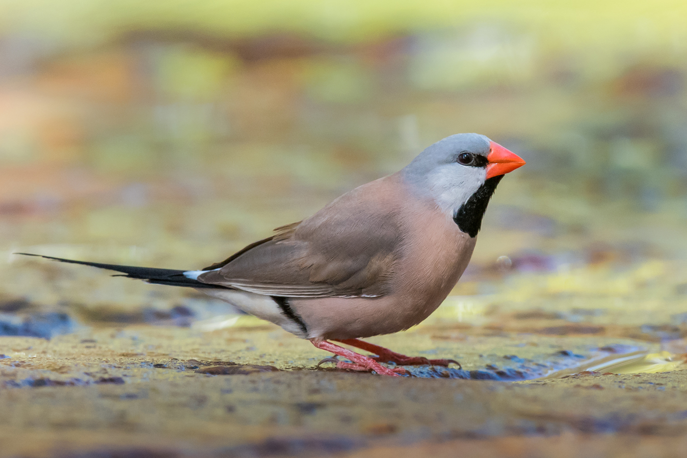 Long-tailed Finch (Image ID 30210)