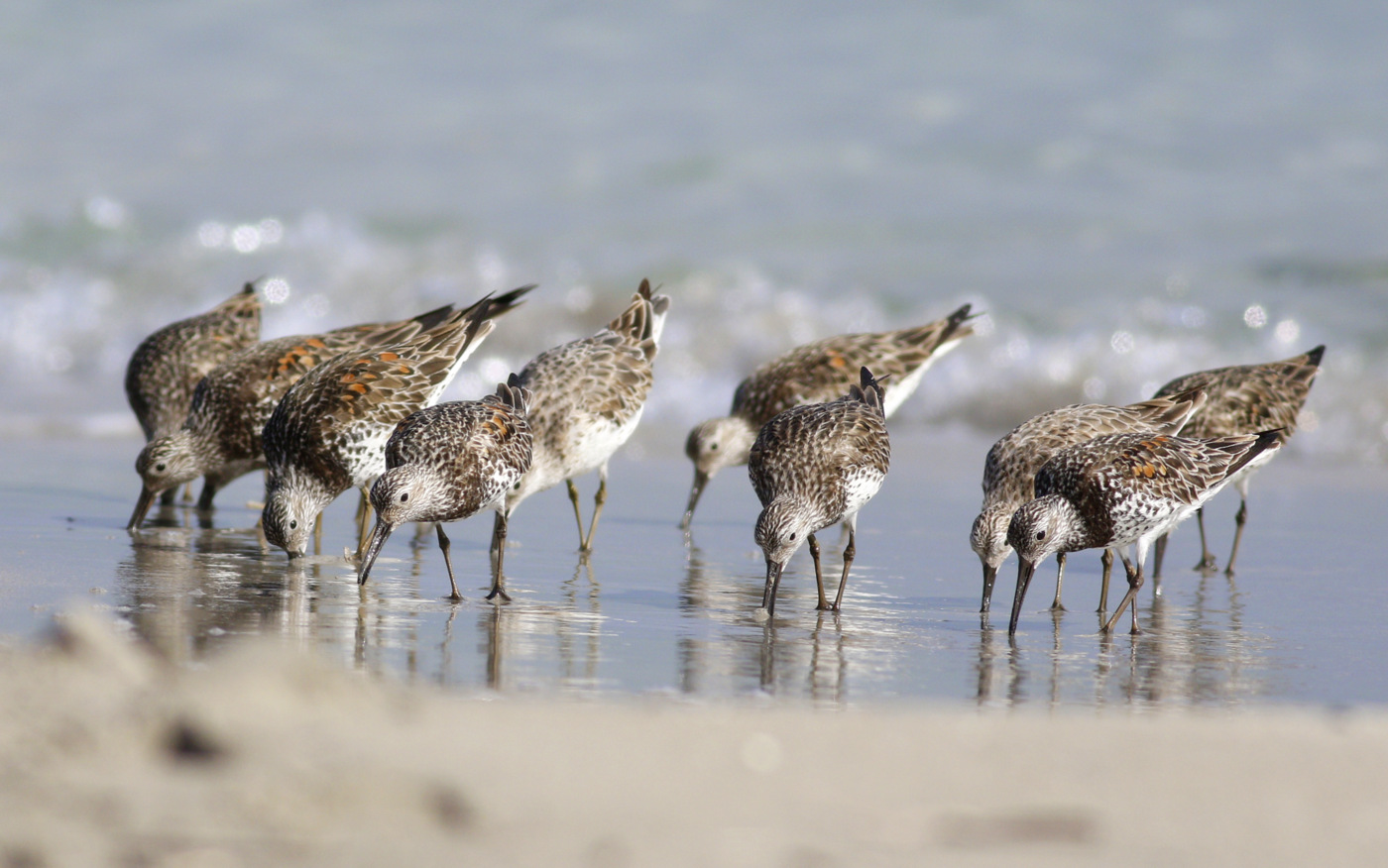Great Knot (Image ID 30205)