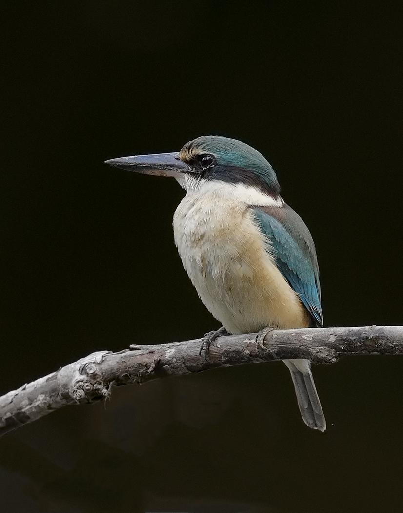 Sacred Kingfisher (Image ID 30115)