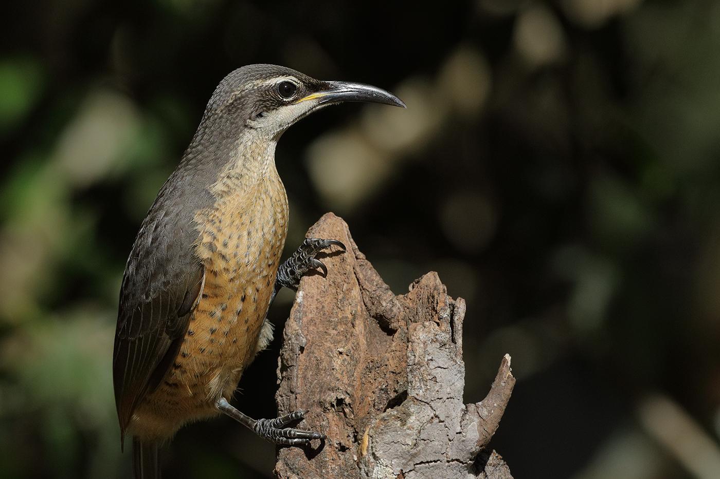 Victoria's Riflebird (Image ID 30230)