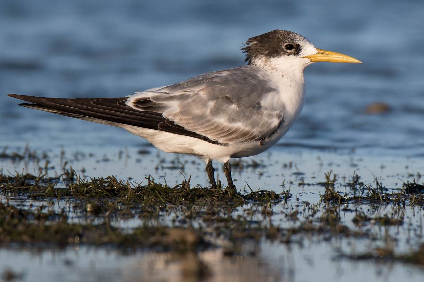 Crested Tern (Image ID 30105)