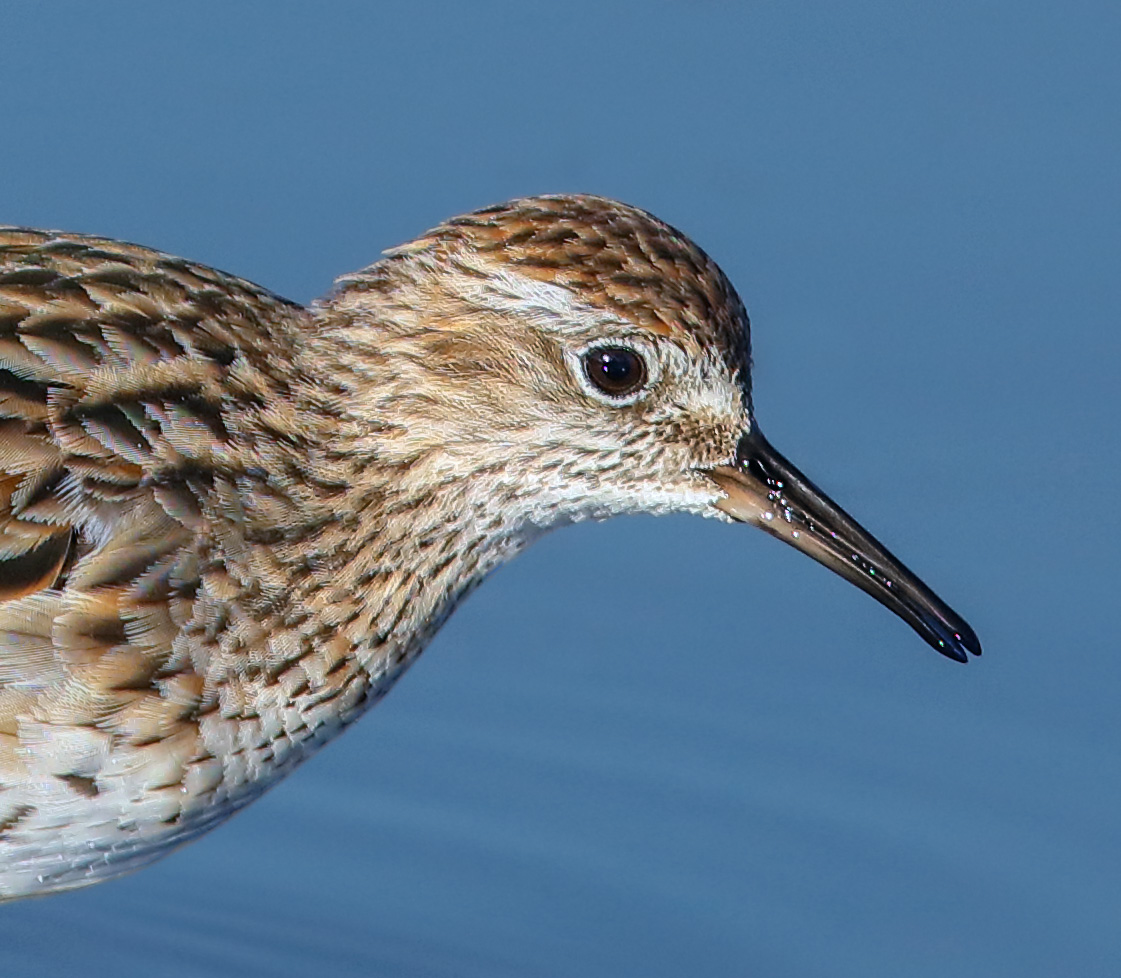 Sharp-tailed Sandpiper (Image ID 30182)