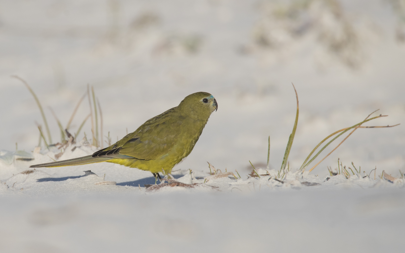 Rock Parrot (Image ID 30243)