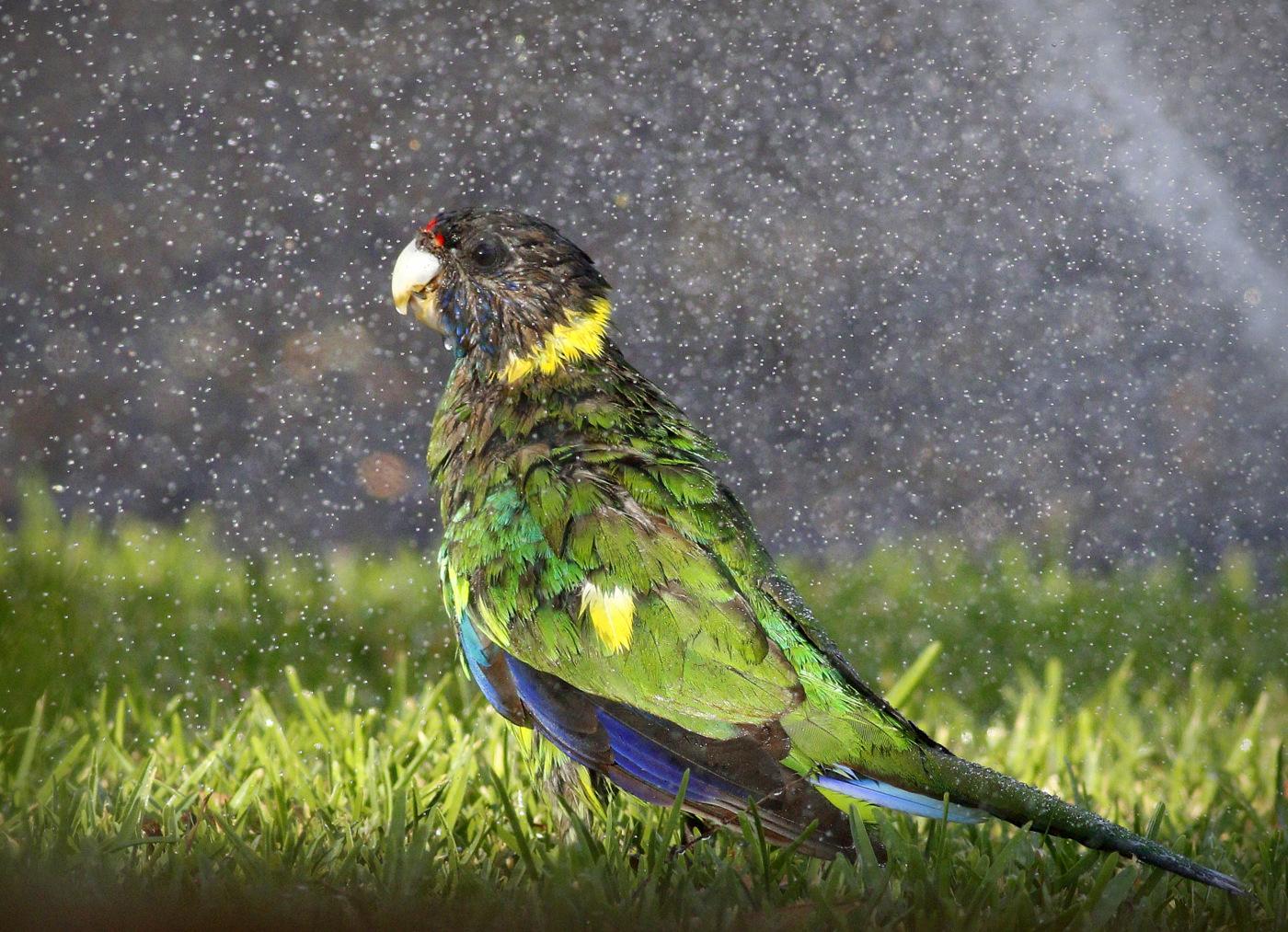 Australian Ringneck (Image ID 30174)